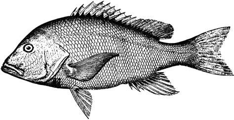 Red Snapper   ClipArt ETC