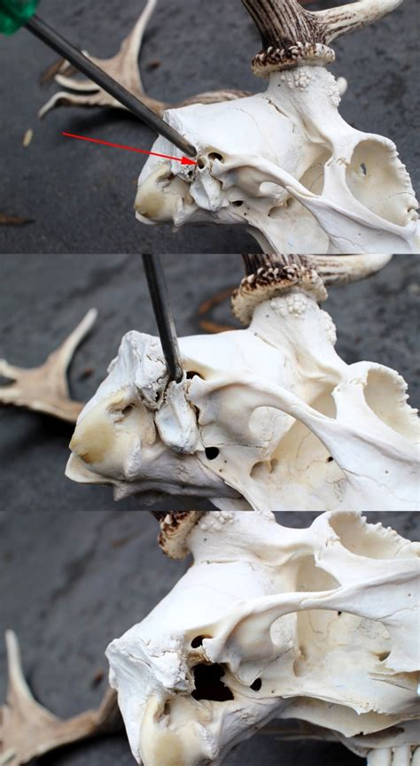 Clean and Whiten Skulls for a Euro Mount - Sporting Shooter