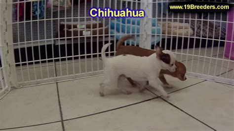 Chihuahua, Puppies, Dogs, For Sale, In Saint Louis, County