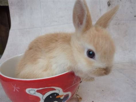 Baby rabbits for sale   Loughborough, Leicestershire