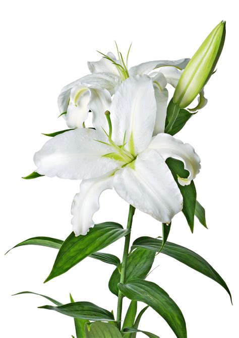 White lily clipart - Clipground
