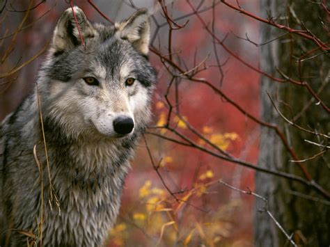 30 Wolf Backgrounds, Wallpapers, Images, Pictures | Design