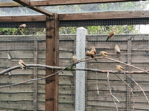 Silverbill Finches For Sale in Royston, Herts   Preloved