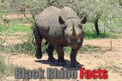 Black Rhino Facts For Kids: Rhinoceros Pictures