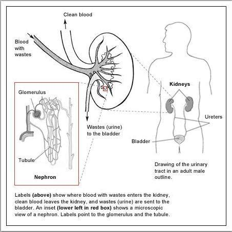 Creatinine Clearance | Lab Tests Online