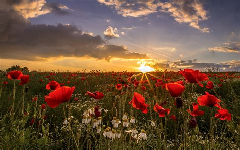 Sunset Field Poppies Wakefield In West Yorkshire, Uk
