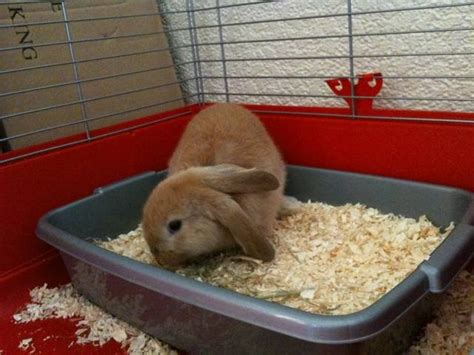 VERY cute Netherland Dwarf Lop Rabbits For Sale FOR SALE