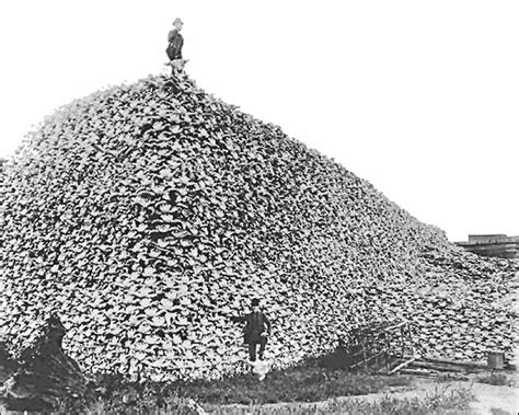 Is it true that the buffalo were hunted almost to