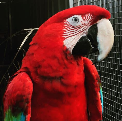 Cute Scarlet Macaws For Sale – Terry's Parrot Farm