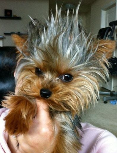 16 Reasons Yorkshire Terriers Are Not The Friendly Dogs